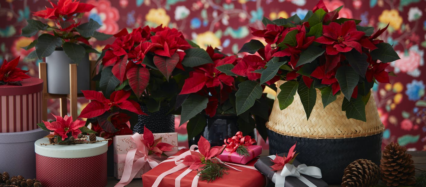 Time for colourful poinsettias! Christmas wonderland with poinsettias