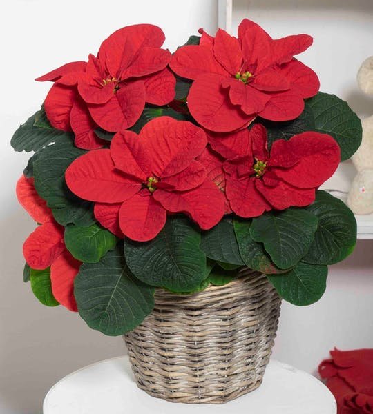 Poinsettias – what's new for 2020?