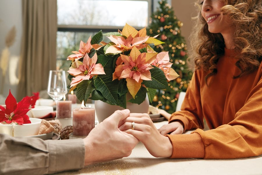 Poinsettia growers reveal secrets to beautiful colored bracts in time for Christmas