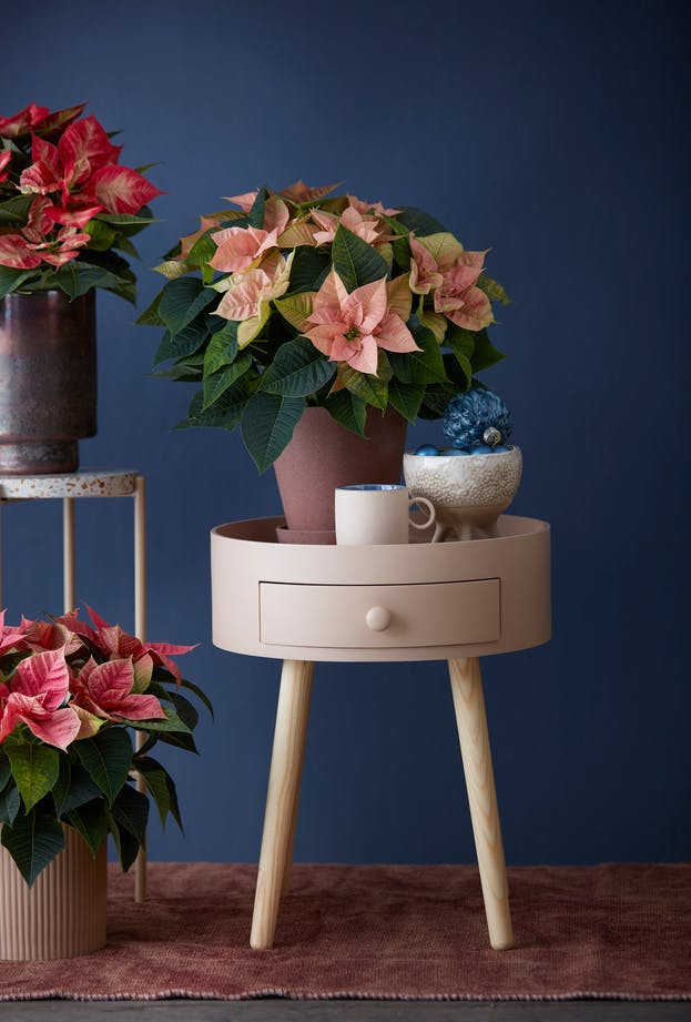 Not only at Christmas time: Autumn magic with poinsettias