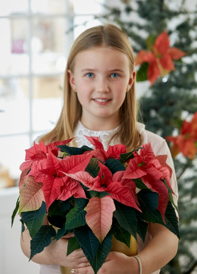 12 December: Today is Poinsettia Day!